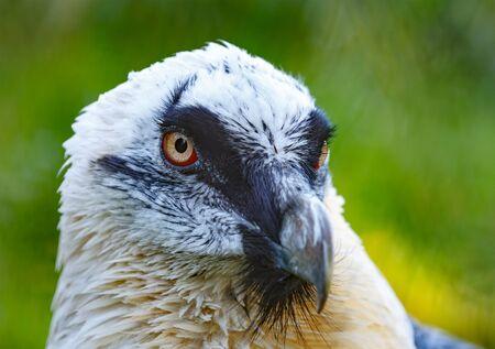 Portrait of a beard vulture (Cypaetus barbatus aureus)