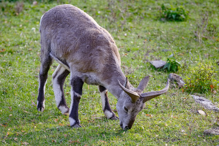 Sheep (Pseudois nayaur) is eating grass on the meadow