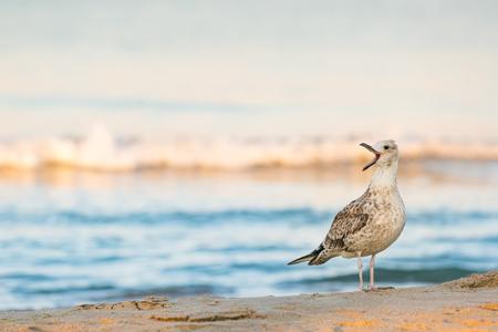 Lone seagull (Larus michahellis) cries standing on a sandy seashore Stock Photo