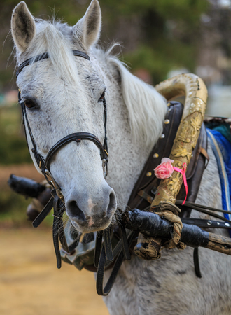 Portrait of the gray horse in old harness Stock Photo