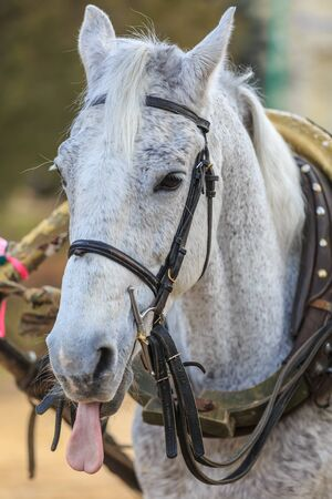 Portrait of a gray horse in harness showing tongue