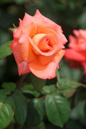 Adorable orange rose flower blooming in the garden