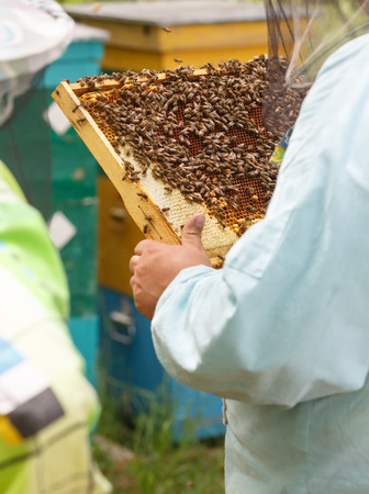 The beekeeper keeps in hand a frame with honeycombs and bees Stock Photo