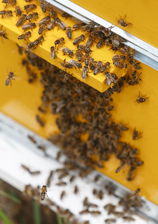 apiculture: A lot of bees swarm at the entrance to the hive Stock Photo