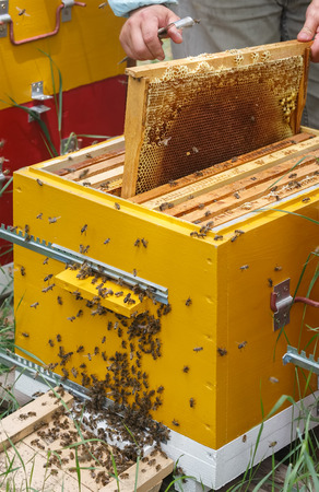 Beekeeper gets out the frame with honey and honeycomb from the hive Stock Photo