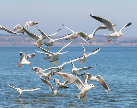 Flock of seagulls (Larus michahellis) are flying over the sea Banco de Imagens
