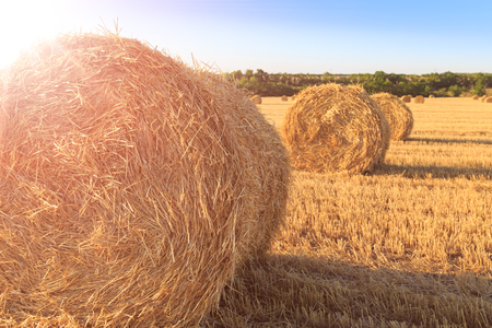Agricultural field after harvesting wheat. Rolls of hay close-up in the rays of the sun Stock Photo