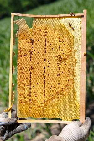 The beekeeper is holding the frame with honeycomb in his hands