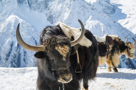 Beautiful black yak with big horns Close-up