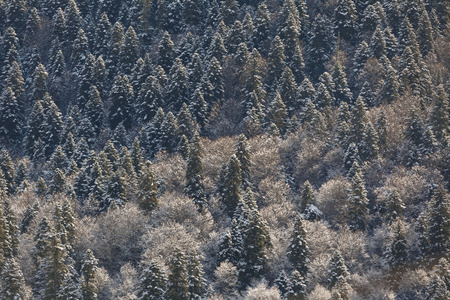 Evergreen coniferous forests of the Caucasus Mountains Standard-Bild
