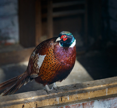 Beautiful pheasant is sitting on the wooden sill plate Stockfoto
