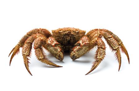 Hairy crab, Erimacrus isenbeckii
