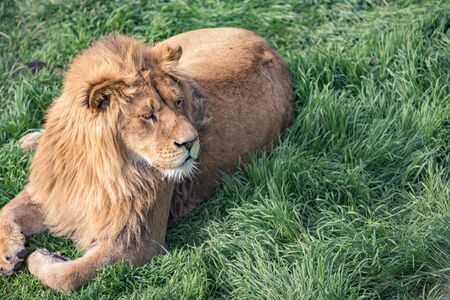 Cute young lion