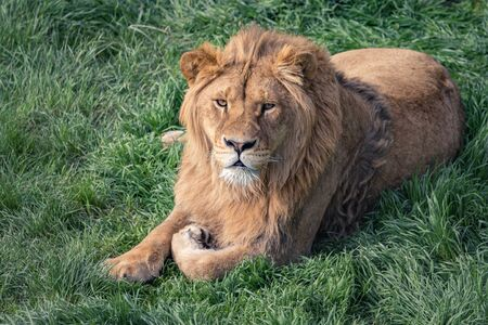 Beautiful young lion kingly laying on grass