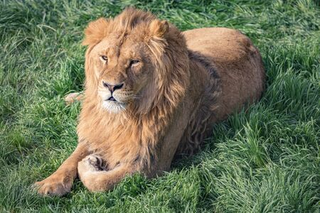 Beautiful young lion kingly laying on green grass Archivio Fotografico