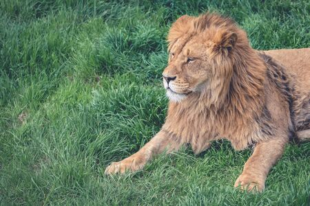 Young lion kingly laying on green grass Archivio Fotografico