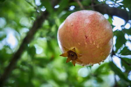 Large pomegranate hanging on a branch covered with raindrops Stockfoto