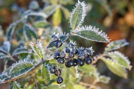 Bush with black berries covered with hoarfrost