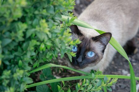 Siamese cat hunts from behind green bushes in the garden.