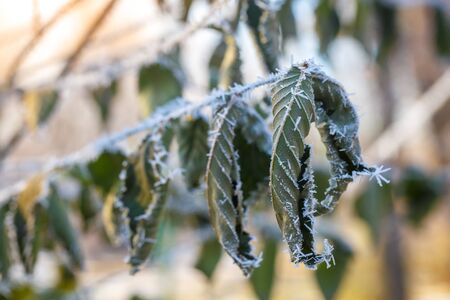 Bended green leaves on a branch covered with hoarfrost on a cold autumn day. Stockfoto
