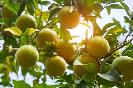 Green tangerines hang on a branch in the rays of the gentle sun. Stockfoto