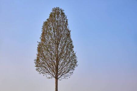 Lonely slender deciduous tree on a background of blue sky.