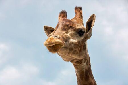 Giraffe head against a blue cloudy sky.