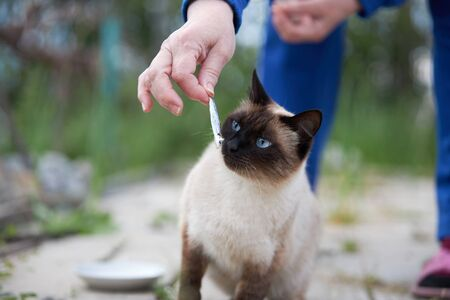 Siamese cat with blue eyes is preparing to eat a small fish. Archivio Fotografico