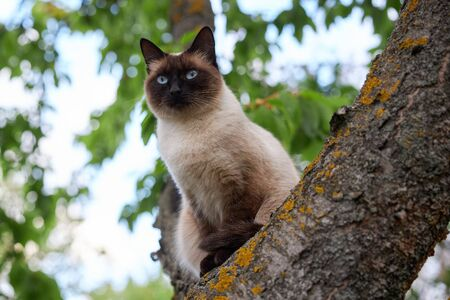 Portrait of a noble Siamese cat sitting on an old tree.