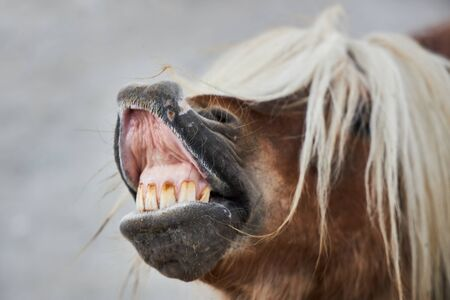 Funny brown horse with a white mane opened its mouth and shows teeth. Archivio Fotografico - 147465806