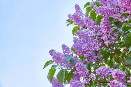 Beautiful blooming lilac against the blue sky, copy space.
