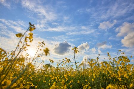 Beautiful field of blooming rapeseed against a blue cloudy sky. Archivio Fotografico - 147856293
