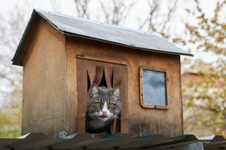 Gray cat sits in his wooden house, sticking his head out and licking his lips. 版權商用圖片