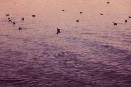 A lot of seagulls float on a calm surface of the sea during a beautiful purple sunset. 版權商用圖片