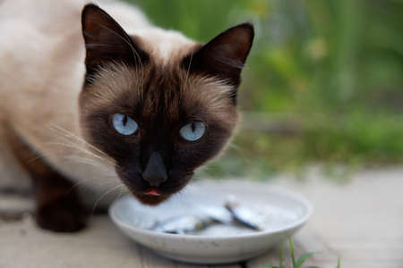 Beautiful Siamese cat with blue eyes eats fish from a saucer.