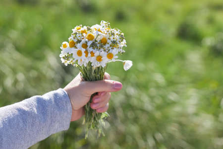 A bouquet of field daisies in a female hand on a background of green grass.