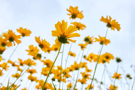 A lot of beautiful yellow daisies on a background of blue sky.