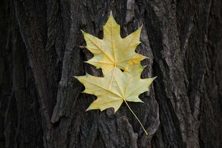 A pair of yellow maple leaves stuck on a tree bark. Archivio Fotografico