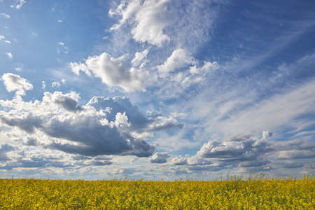 Beautiful blue sky with white clouds over the rapeseed field.
