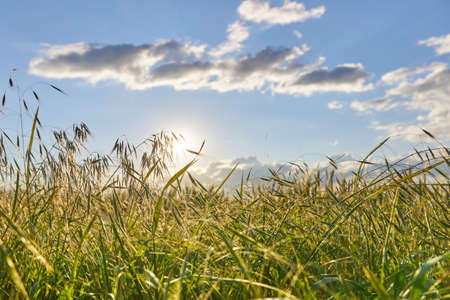 The suns rays at sunset break through the spikelets of oats. Archivio Fotografico