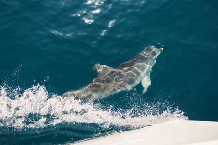 Beautiful dolphin swims underwater at the bow of a yacht.