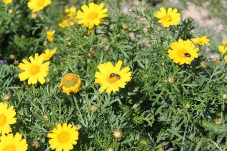 Yellow wildflowers and three bugs Imagens