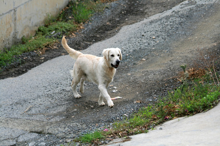 Golden retriever walking across a shabby street