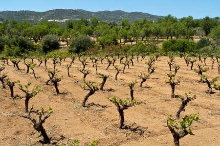 Vineyard in valley of Troodos Mountains, Cyprus, in springtime