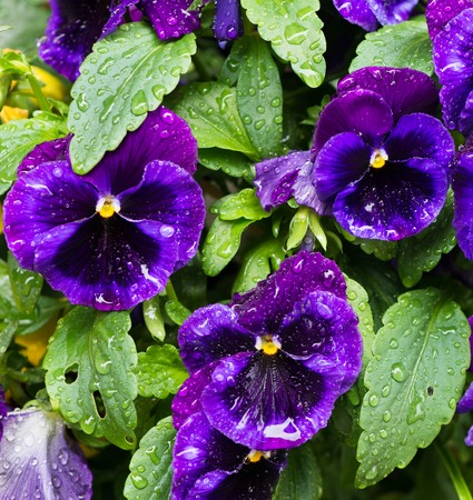 Pansies with water drops Stock Photo - 63948159