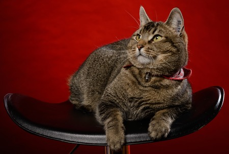 Cat sits on a black chair in front of a red background Stock Photo - 63948167