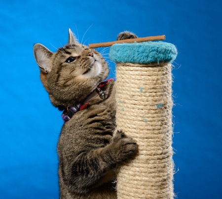 Cat climb up on a scratching pillar to receive cat treats in front of a blue background Stock Photo - 63948169