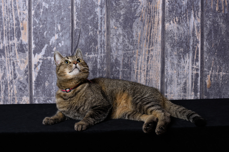 Cat lying on black surface with a wooden background and looking up into the sky Stock Photo