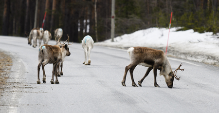 Reindeer crossing a road in its natural environment in the north of Sweden Stock Photo - 77396173