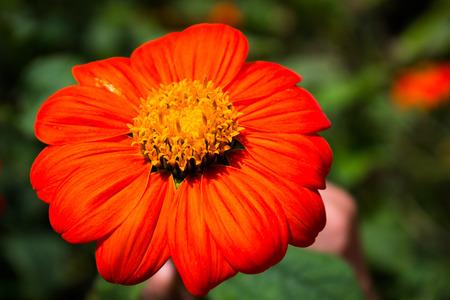 A Gerbera flower in a garden